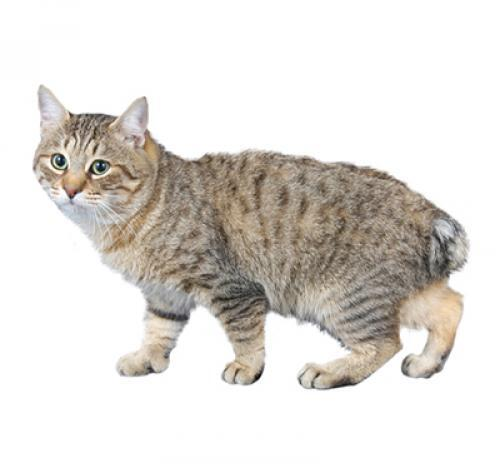 Japanese Bobtail Long Hair